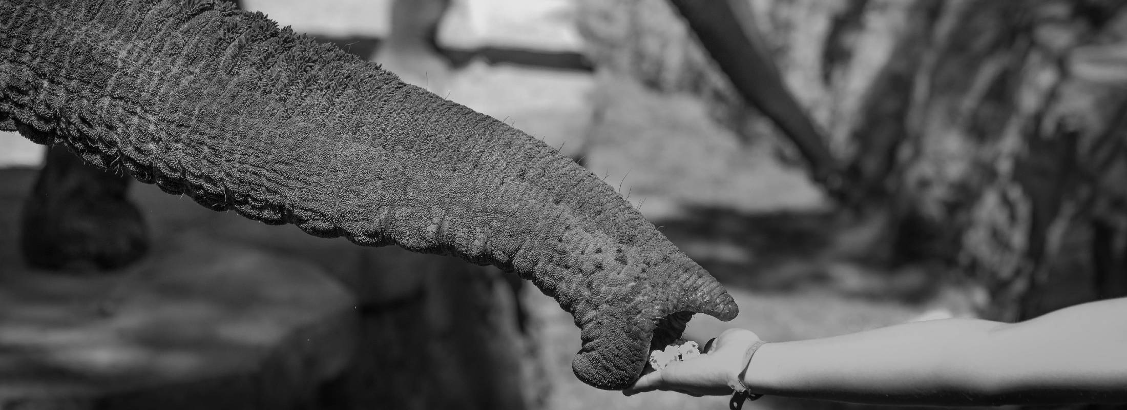 Voluntariado de cuidado de elefantes